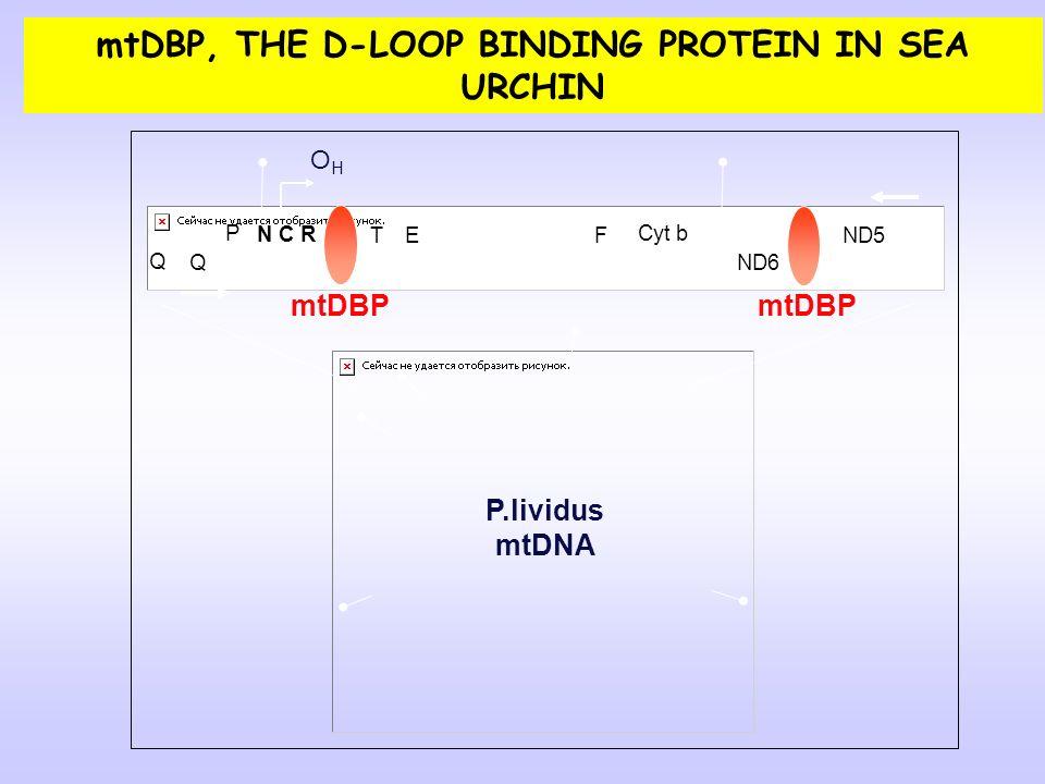 P.lividus mtDNA 12 S Cyt b ND5 ND6 F Q T E Q N C R mtDBP OHOH P mtDBP, THE D-LOOP BINDING PROTEIN IN SEA URCHIN