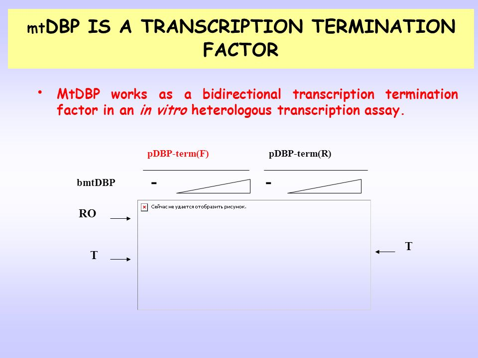 MtDBP works as a bidirectional transcription termination factor in an in vitro heterologous transcription assay. bmtDBP -- RO T T pDBP-term(F)pDBP-ter