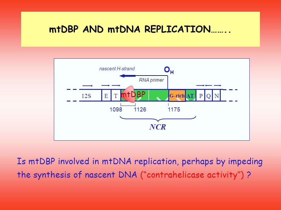 Is mtDBP involved in mtDNA replication, perhaps by impeding the synthesis of nascent DNA (contrahelicase activity) ? NCR 109811261175 12STE OHOH QNPAT