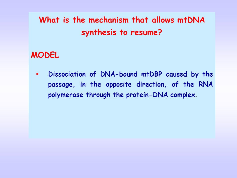 What is the mechanism that allows mtDNA synthesis to resume? MODEL Dissociation of DNA-bound mtDBP caused by the passage, in the opposite direction, o