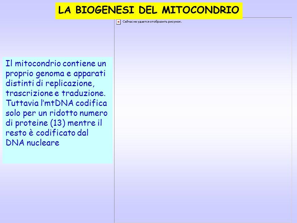 LA BIOGENESI DEL MITOCONDRIO Il mitocondrio contiene un proprio genoma e apparati distinti di replicazione, trascrizione e traduzione. Tuttavia lmtDNA