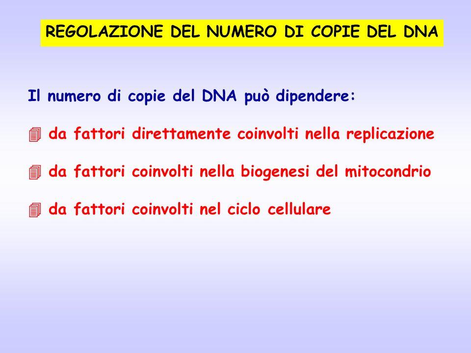 REGOLAZIONE DEL NUMERO DI COPIE DEL DNA Il numero di copie del DNA può dipendere: da fattori direttamente coinvolti nella replicazione da fattori coin