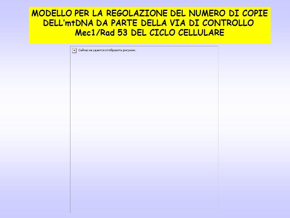 MODELLO PER LA REGOLAZIONE DEL NUMERO DI COPIE DELLmtDNA DA PARTE DELLA VIA DI CONTROLLO Mec1/Rad 53 DEL CICLO CELLULARE