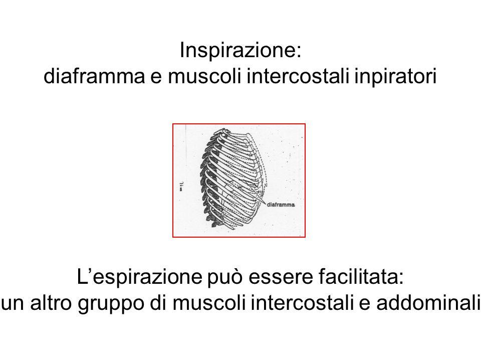 Inspirazione: diaframma e muscoli intercostali inpiratori Lespirazione può essere facilitata: un altro gruppo di muscoli intercostali e addominali