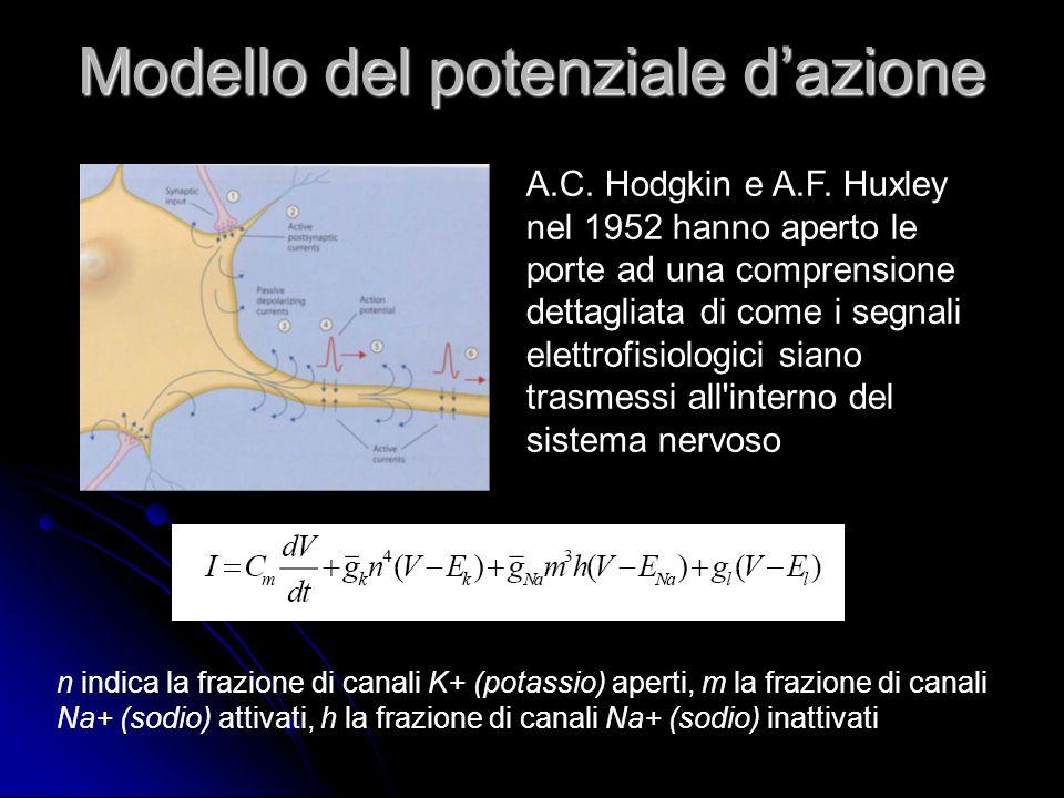 Modello del potenziale dazione n indica la frazione di canali K+ (potassio) aperti, m la frazione di canali Na+ (sodio) attivati, h la frazione di can