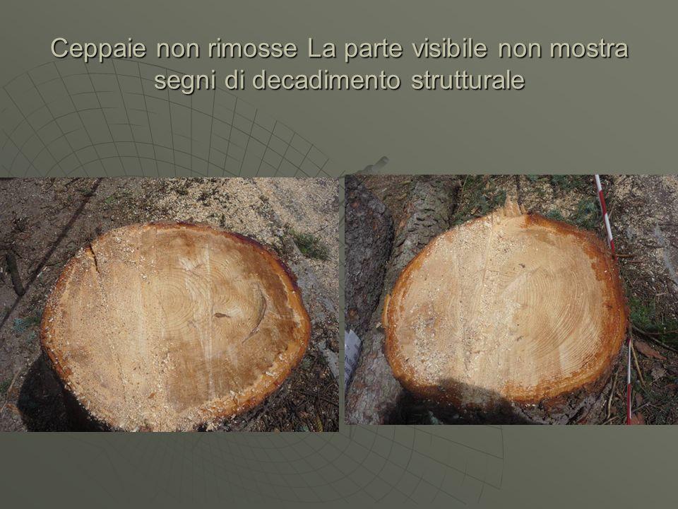 Ceppaie non rimosse La parte visibile non mostra segni di decadimento strutturale