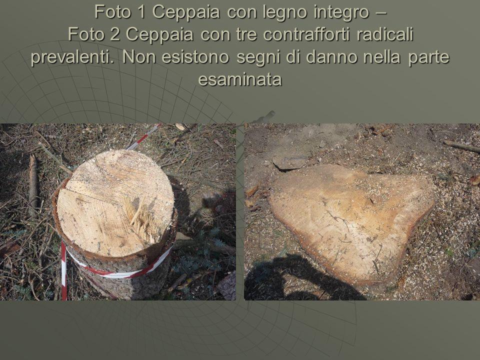 Foto 1 Ceppaia con legno integro – Foto 2 Ceppaia con tre contrafforti radicali prevalenti.