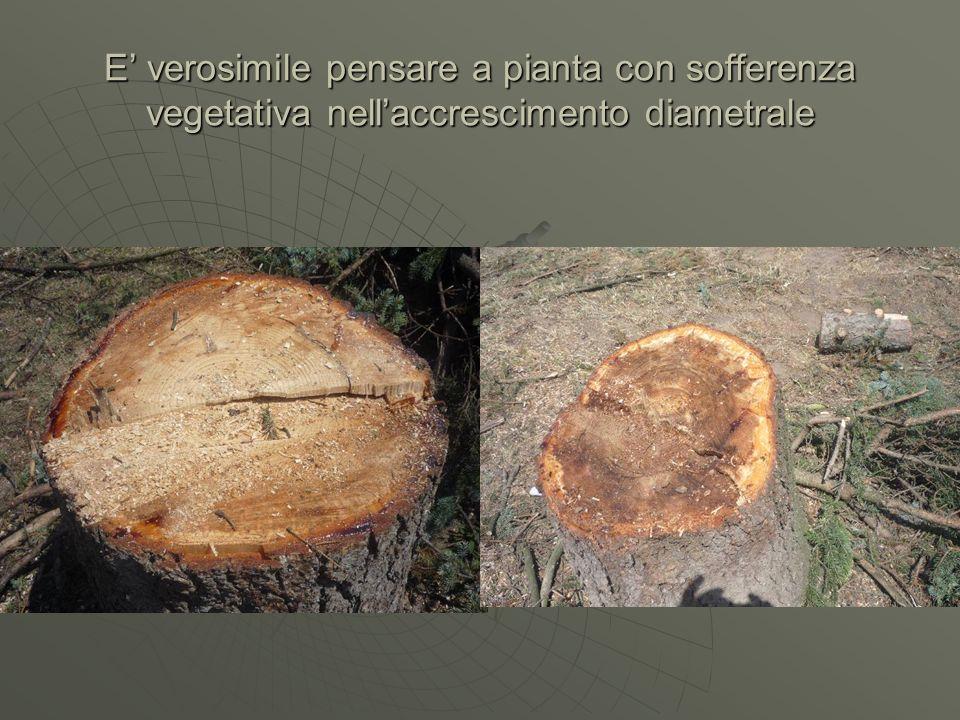 E verosimile pensare a pianta con sofferenza vegetativa nellaccrescimento diametrale