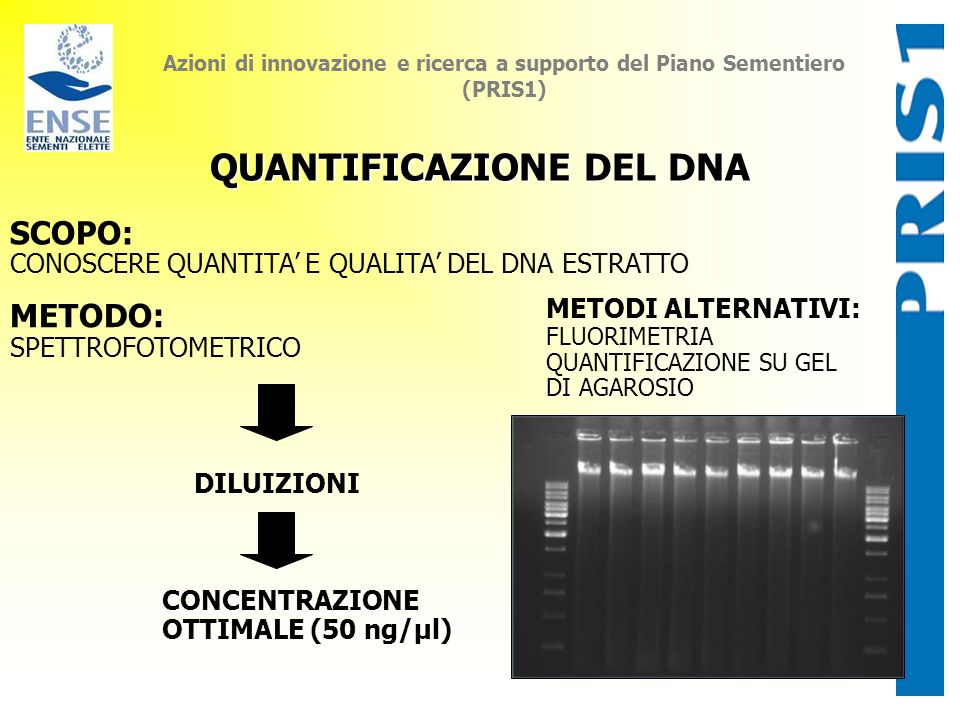 Azioni di innovazione e ricerca a supporto del Piano Sementiero (PRIS1) QUANTIFICAZIONE DEL DNA SCOPO: CONOSCERE QUANTITA E QUALITA DEL DNA ESTRATTO M