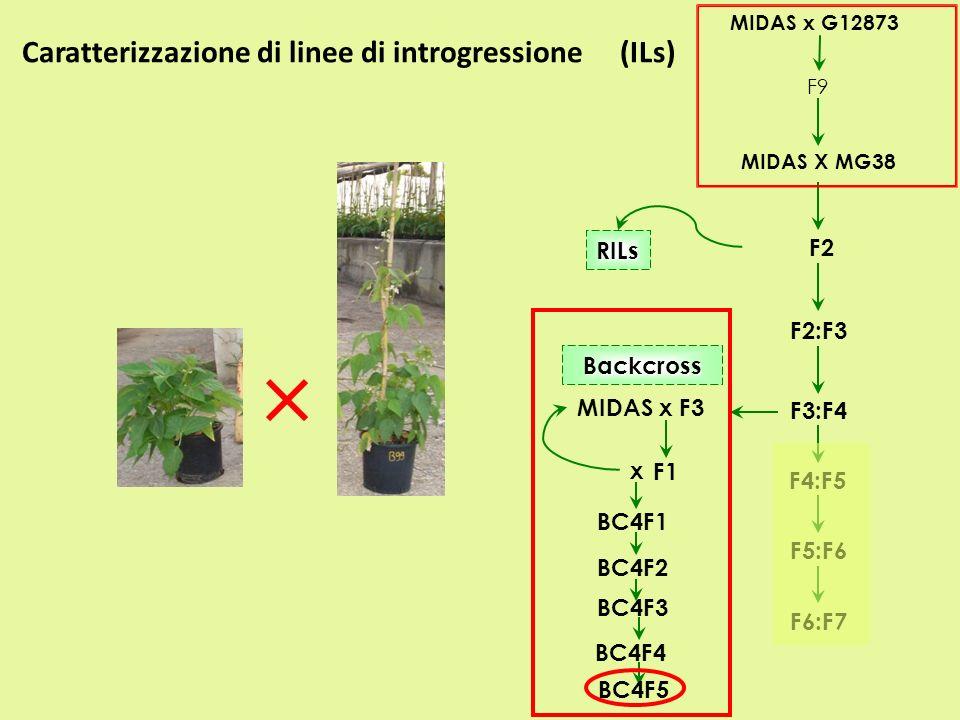 Caratterizzazione di linee di introgressione (ILs) MIDAS x G12873 F9 MIDAS X MG38 F2 F2:F3 F3:F4 RILs MIDAS x F3 F1 BC4F1 BC4F2 F4:F5 F5:F6 F6:F7 Back