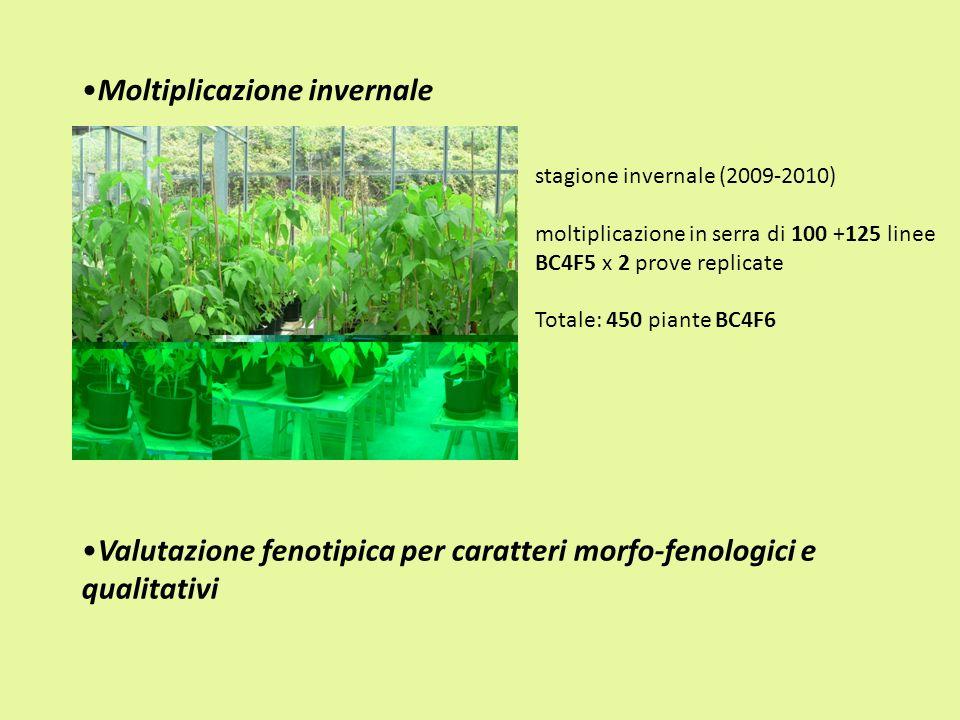 Moltiplicazione invernale stagione invernale (2009-2010) moltiplicazione in serra di 100 +125 linee BC4F5 x 2 prove replicate Totale: 450 piante BC4F6