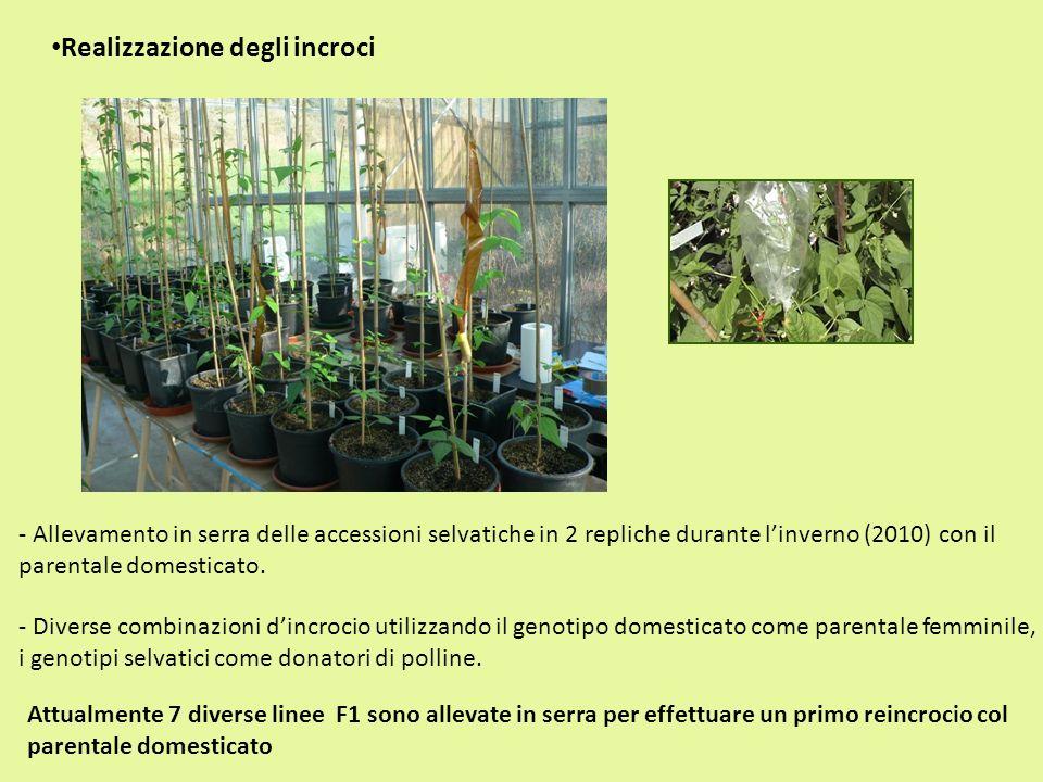 - Diverse combinazioni dincrocio utilizzando il genotipo domesticato come parentale femminile, i genotipi selvatici come donatori di polline. Realizza