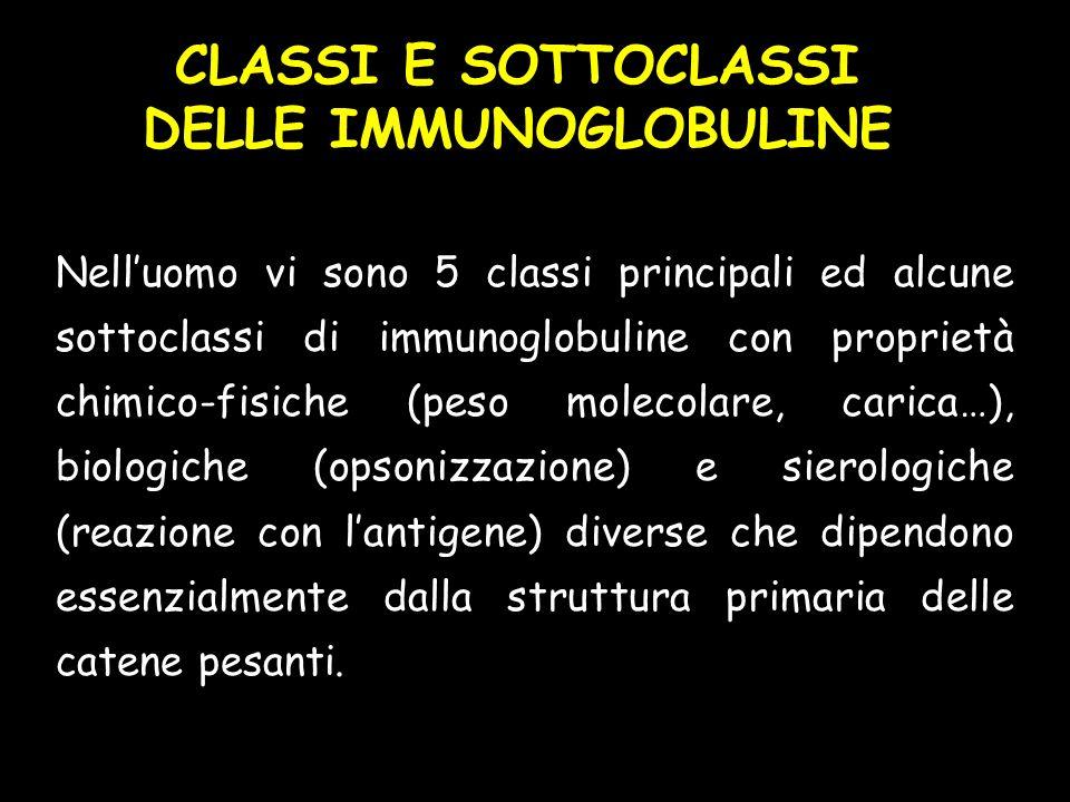 CLASSI E SOTTOCLASSI DELLE IMMUNOGLOBULINE Nelluomo vi sono 5 classi principali ed alcune sottoclassi di immunoglobuline con proprietà chimico-fisiche