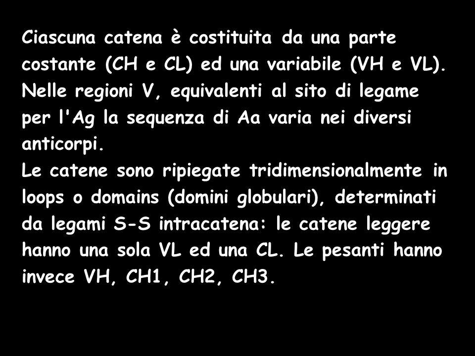 Ciascuna catena è costituita da una parte costante (CH e CL) ed una variabile (VH e VL). Nelle regioni V, equivalenti al sito di legame per l'Ag la se