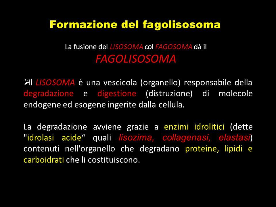 Formazione del fagolisosoma Il LISOSOMA è una vescicola (organello) responsabile della degradazione e digestione (distruzione) di molecole endogene ed