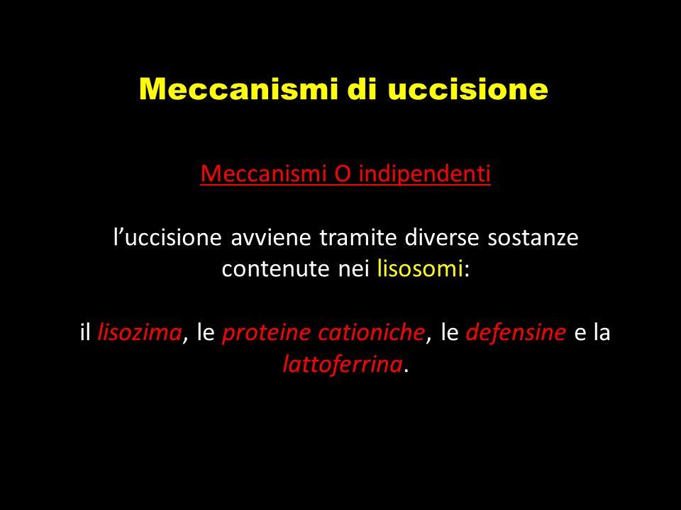 Meccanismi di uccisione Meccanismi O indipendenti luccisione avviene tramite diverse sostanze contenute nei lisosomi: il lisozima, le proteine cationi