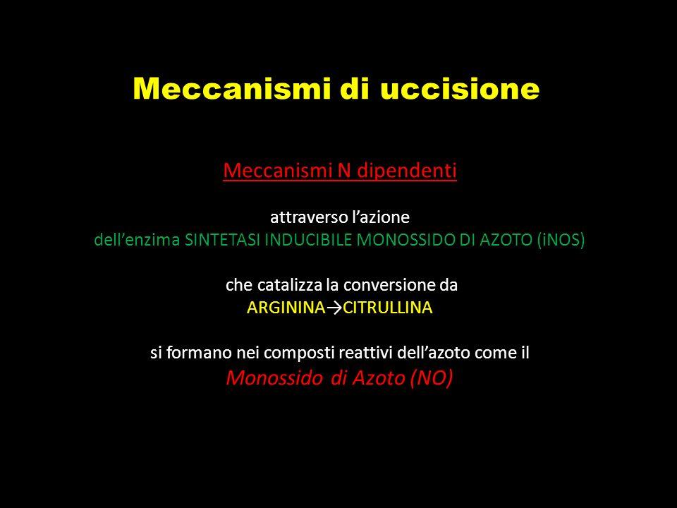 Meccanismi di uccisione Meccanismi N dipendenti attraverso lazione dellenzima SINTETASI INDUCIBILE MONOSSIDO DI AZOTO (iNOS) che catalizza la conversi