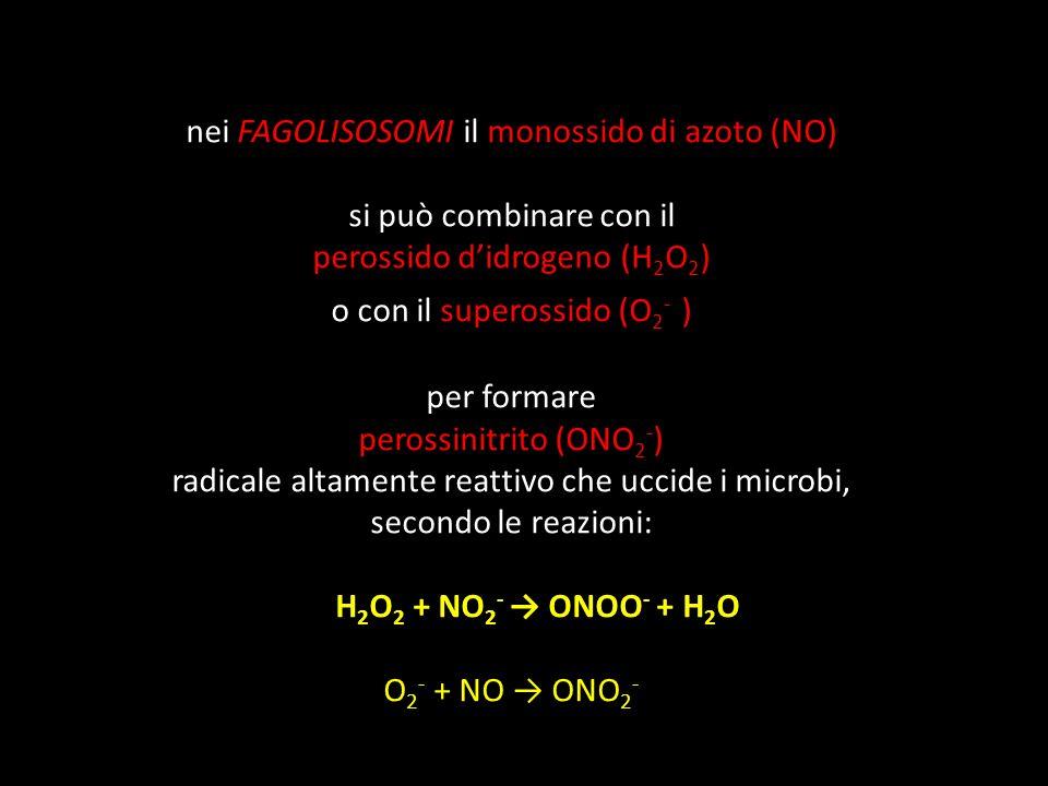 nei FAGOLISOSOMI il monossido di azoto (NO) si può combinare con il perossido didrogeno (H 2 O 2 ) o con il superossido (O 2 - ) per formare perossini