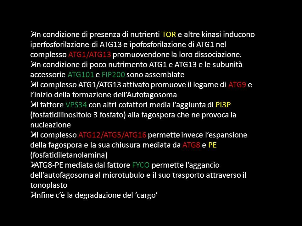 In condizione di presenza di nutrienti TOR e altre kinasi inducono iperfosforilazione di ATG13 e ipofosforilazione di ATG1 nel complesso ATG1/ATG13 pr