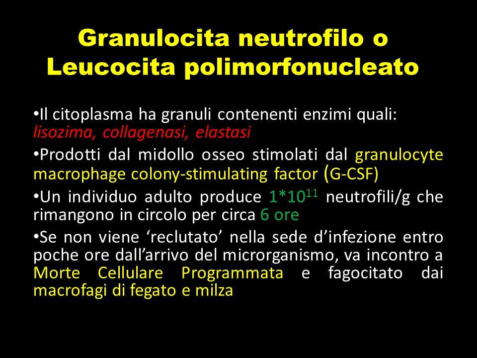 Il citoplasma ha granuli contenenti enzimi quali: lisozima, collagenasi, elastasi Prodotti dal midollo osseo stimolati dal granulocyte macrophage colo