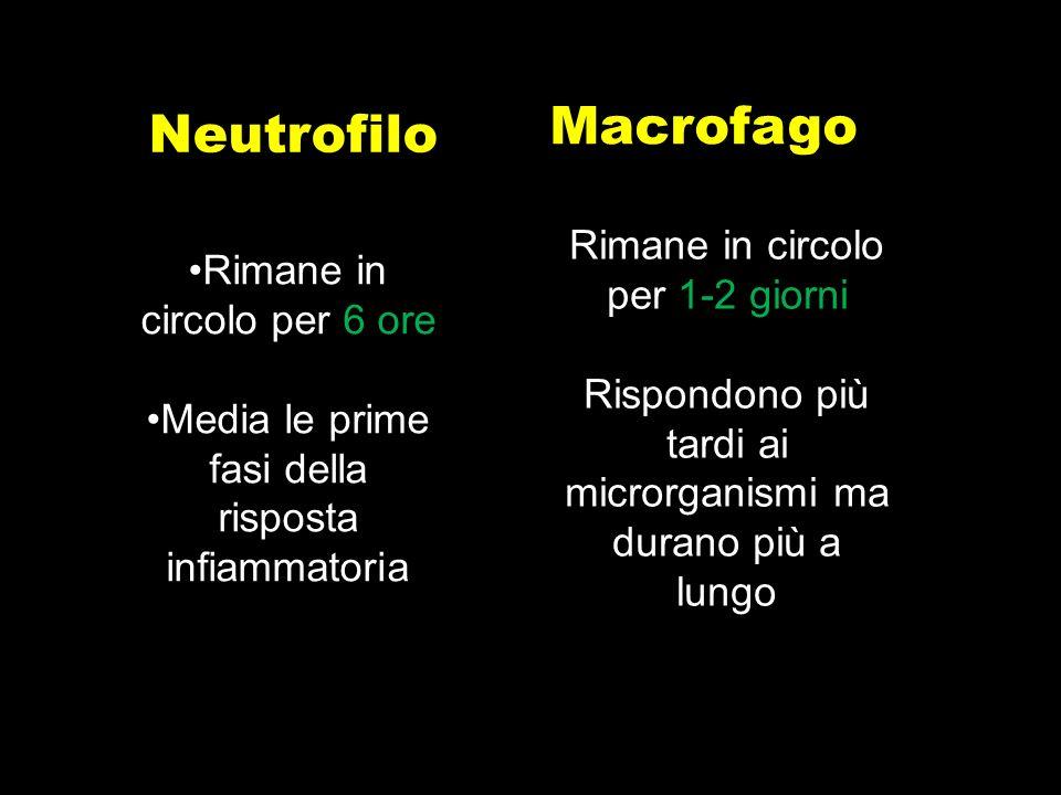 Neutrofilo Macrofago Rimane in circolo per 6 ore Media le prime fasi della risposta infiammatoria Rimane in circolo per 1-2 giorni Rispondono più tard