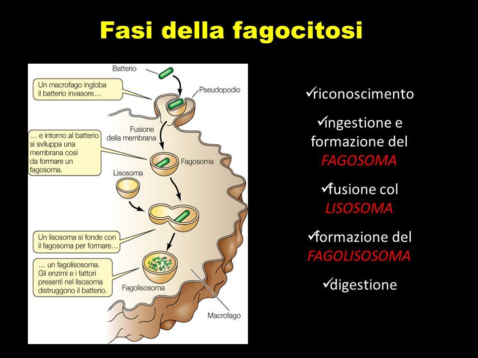 Fasi della fagocitosi RICONOSCIMENTO INGESTIONE E FORMAZIONE DEL FAGOSOMA FORMAZIONE DEL FAGOLISOSOMA DIGESTIONE Fasi della fagocitosi riconoscimento