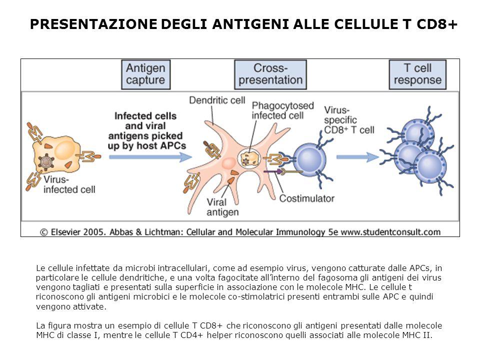 PRESENTAZIONE DEGLI ANTIGENI ALLE CELLULE T CD8+ Le cellule infettate da microbi intracellulari, come ad esempio virus, vengono catturate dalle APCs,