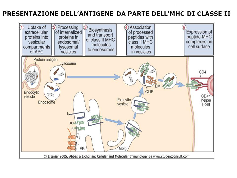 PRESENTAZIONE DELLANTIGENE DA PARTE DELLMHC DI CLASSE II