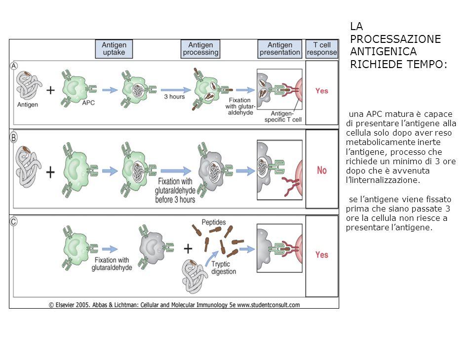 LA PROCESSAZIONE ANTIGENICA RICHIEDE TEMPO: una APC matura è capace di presentare lantigene alla cellula solo dopo aver reso metabolicamente inerte la