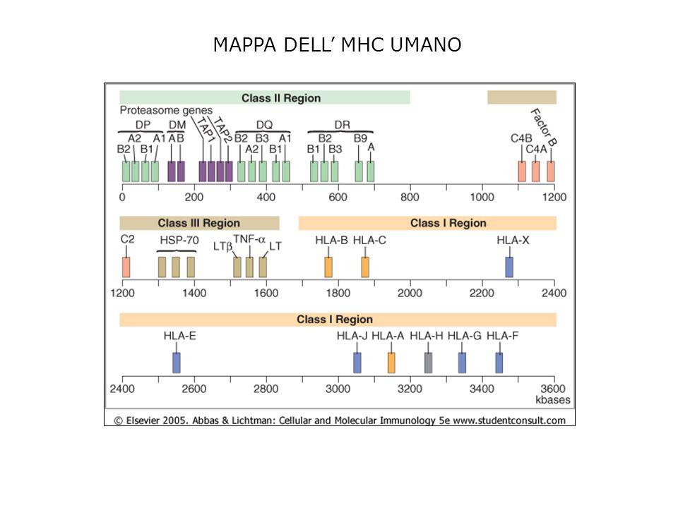 FUNZIONI DELLE DIVERSE CELLULE CHE PRESENTANO LANTIGENE Sono rappresentati i 3 maggiori tipi di celluel che presentano lantigene (APC) alle cellule CD4+.