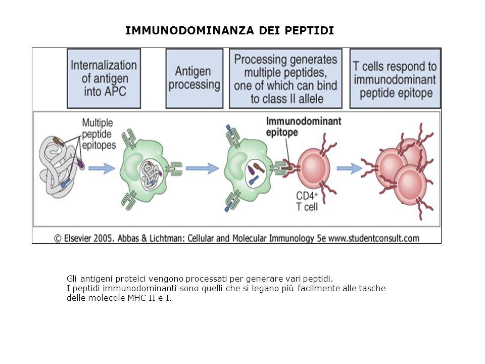 IMMUNODOMINANZA DEI PEPTIDI Gli antigeni proteici vengono processati per generare vari peptidi. I peptidi immunodominanti sono quelli che si legano pi