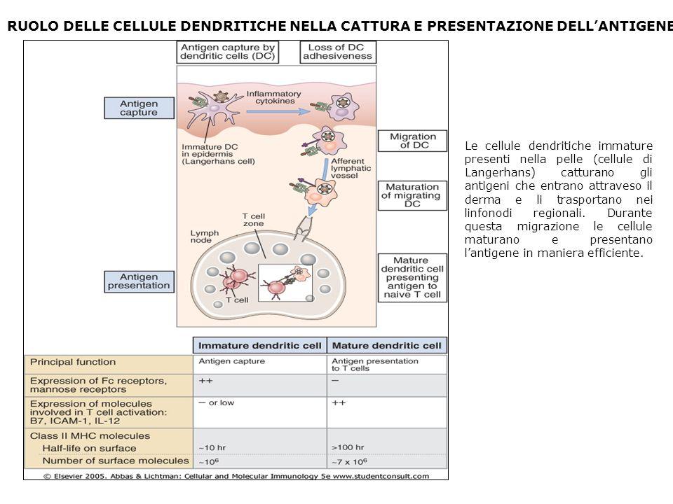 RUOLO DELLE CELLULE DENDRITICHE NELLA CATTURA E PRESENTAZIONE DELLANTIGENE Le cellule dendritiche immature presenti nella pelle (cellule di Langerhans