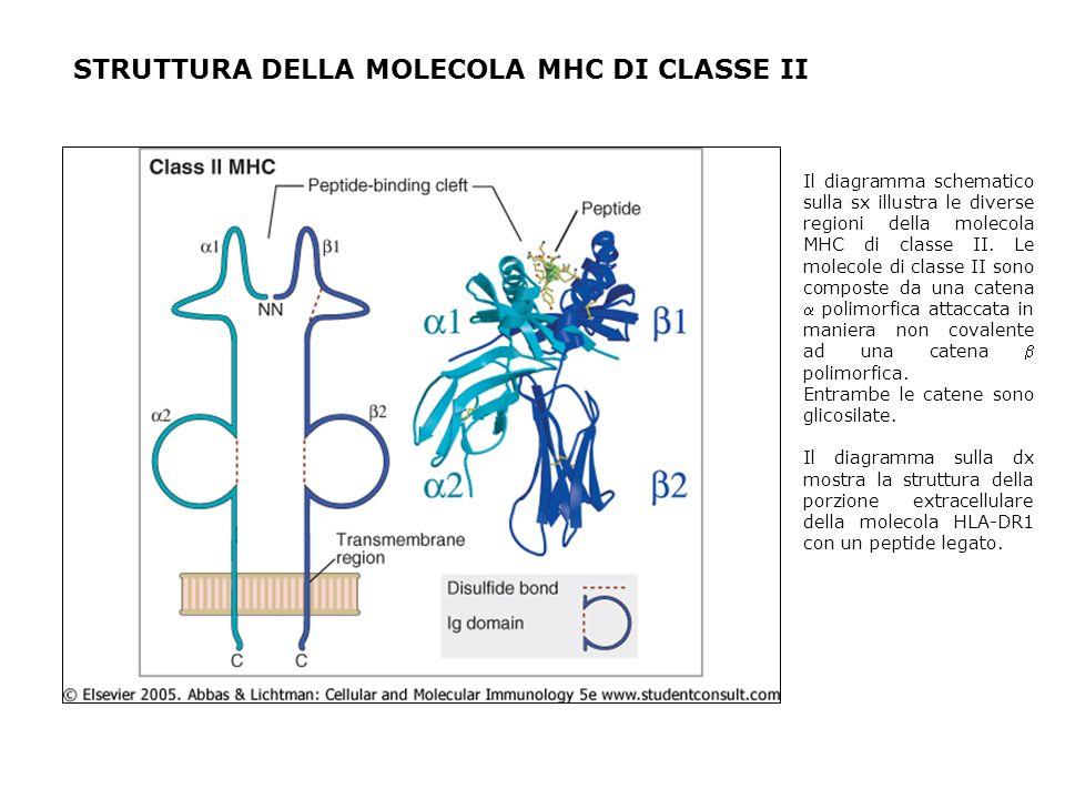 STRUTTURA DELLA MOLECOLA MHC DI CLASSE II Il diagramma schematico sulla sx illustra le diverse regioni della molecola MHC di classe II. Le molecole di