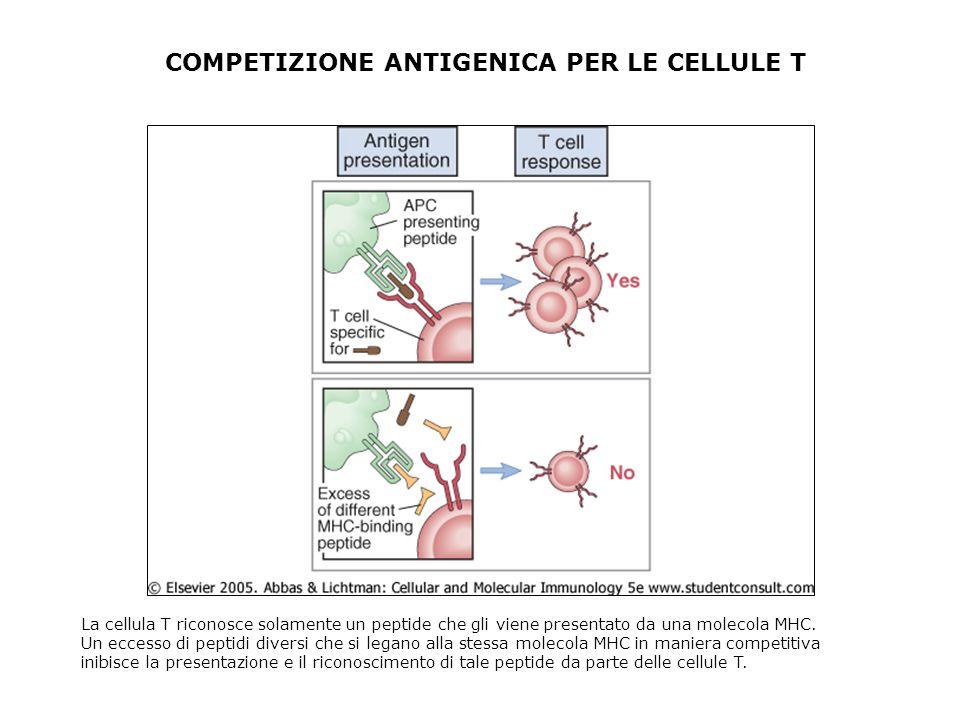 COMPETIZIONE ANTIGENICA PER LE CELLULE T La cellula T riconosce solamente un peptide che gli viene presentato da una molecola MHC. Un eccesso di pepti