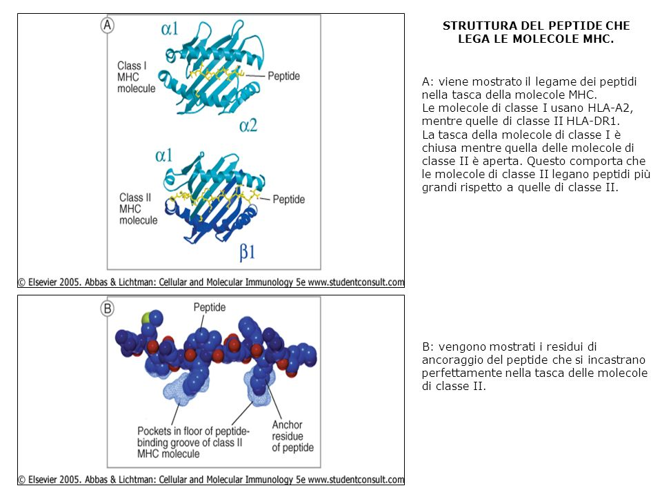 STRUTTURA DEL PEPTIDE CHE LEGA LE MOLECOLE MHC. A: viene mostrato il legame dei peptidi nella tasca della molecole MHC. Le molecole di classe I usano