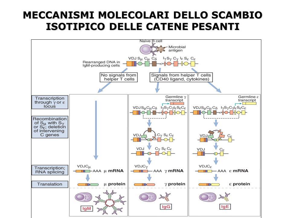 MECCANISMI MOLECOLARI DELLO SCAMBIO ISOTIPICO DELLE CATENE PESANTI