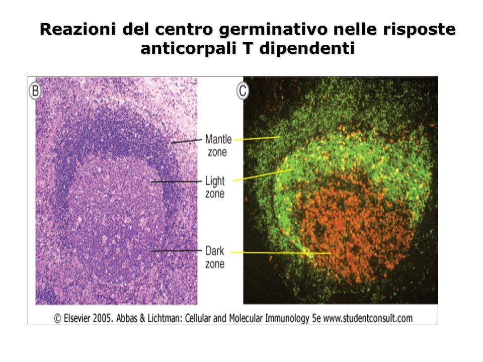 Reazioni del centro germinativo nelle risposte anticorpali T dipendenti