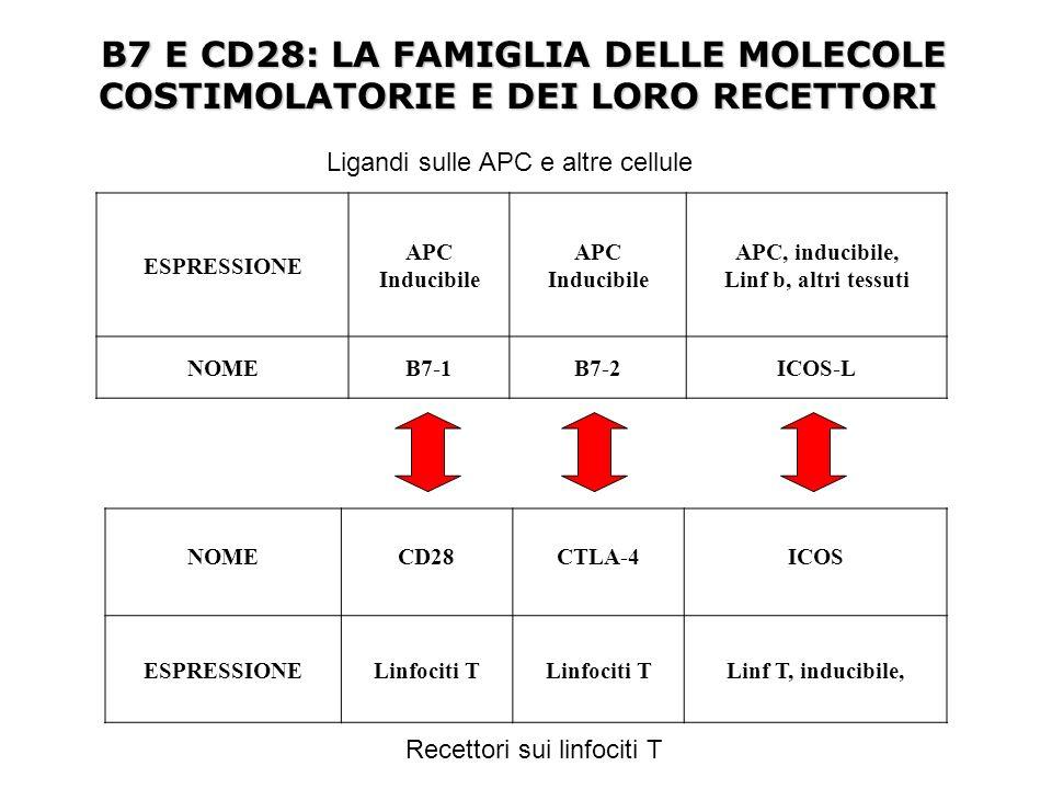 PRESENTAZIONE DELLANTIGENE AI LINFOCITI T HELPER DA PARTE DEI LINFOCITI B Il legame dellantigene con il linfocita B stimola anche lespressione delle molecole co-stimolatorie B7-1 e B7-2