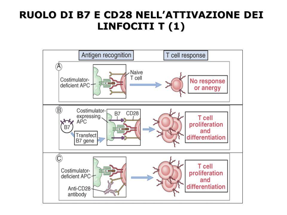 MECCANISMI DI ATTIVAZIONE DEI LINFOCITI B DA PARTE DEI LINFOCITI T HELPER I linfociti B presentano i peptidi antigenici in associazione alle molecole MHCII ed esprimono le molecole costimolatorie B7-1 e B7-.