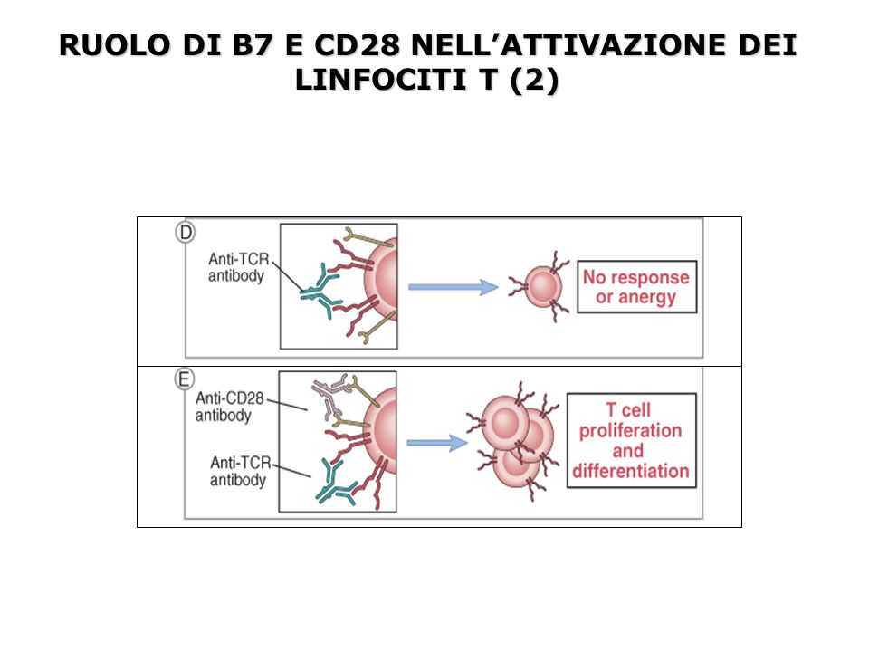 Mutazioni somatiche a carico dei geni V delle Ig