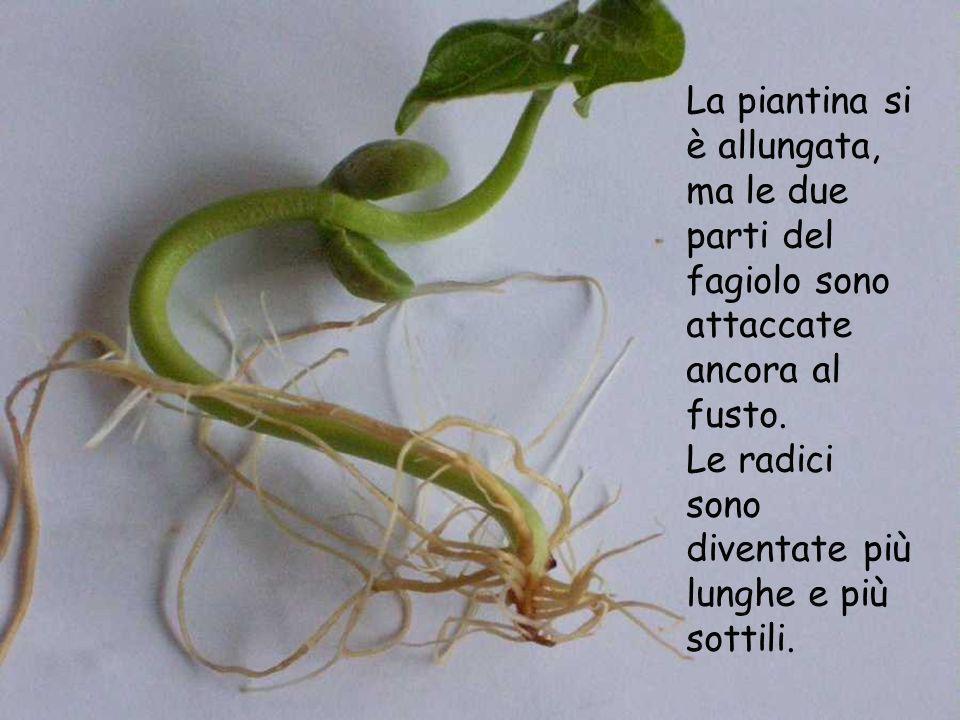 La piantina si è allungata, ma le due parti del fagiolo sono attaccate ancora al fusto. Le radici sono diventate più lunghe e più sottili.