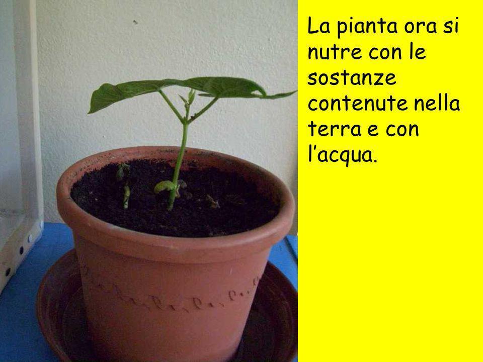 La pianta ora si nutre con le sostanze contenute nella terra e con lacqua.