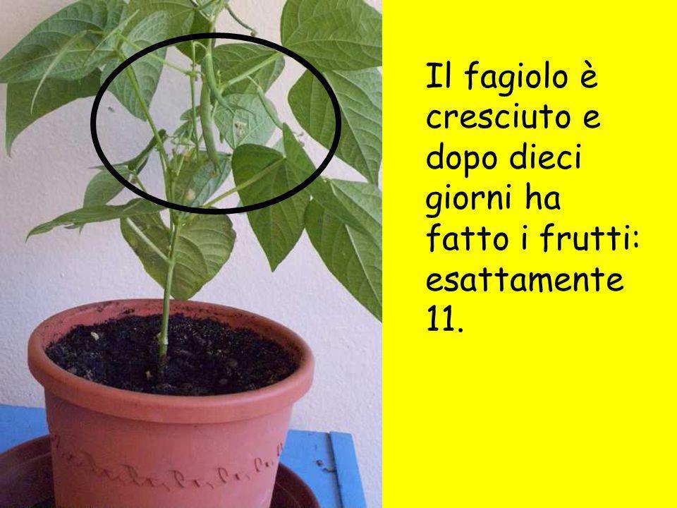 Il fagiolo è cresciuto e dopo dieci giorni ha fatto i frutti: esattamente 11.
