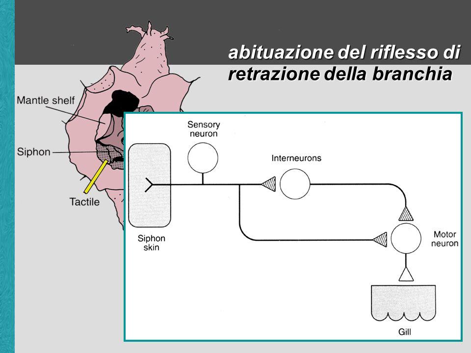 facilitazione presinaptica nella sensibilizzazione del riflesso di retrazione della branchia