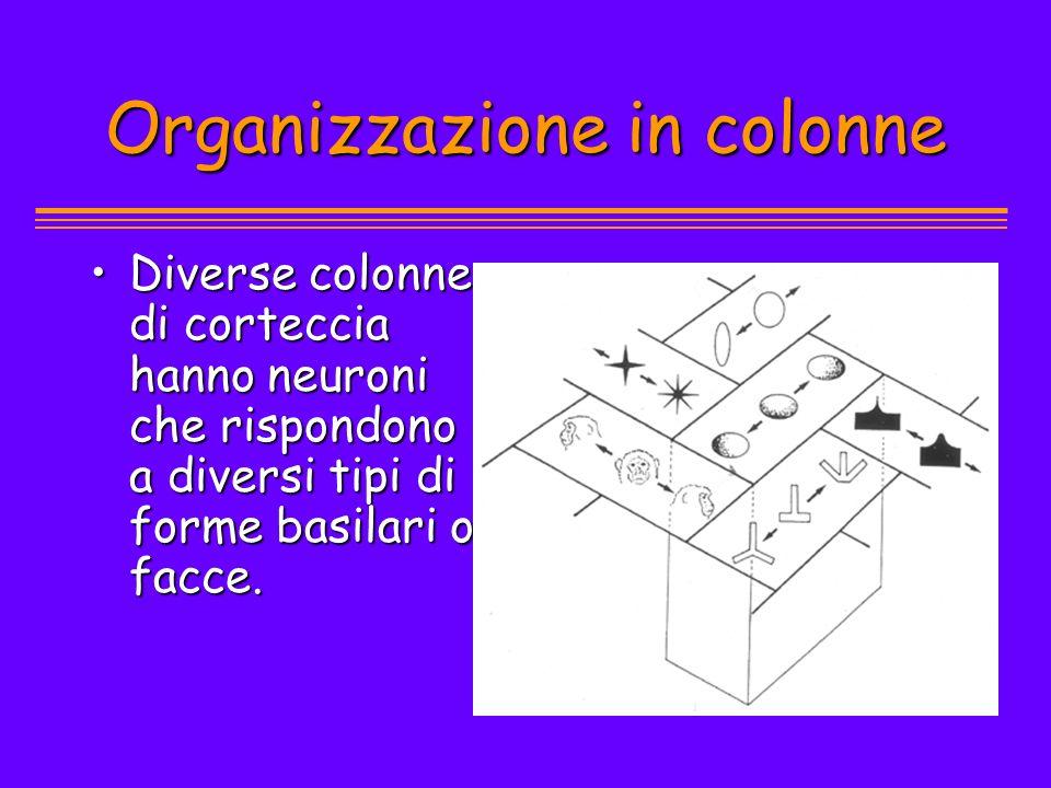 Organizzazione in colonne Diverse colonne di corteccia hanno neuroni che rispondono a diversi tipi di forme basilari o facce.Diverse colonne di cortec