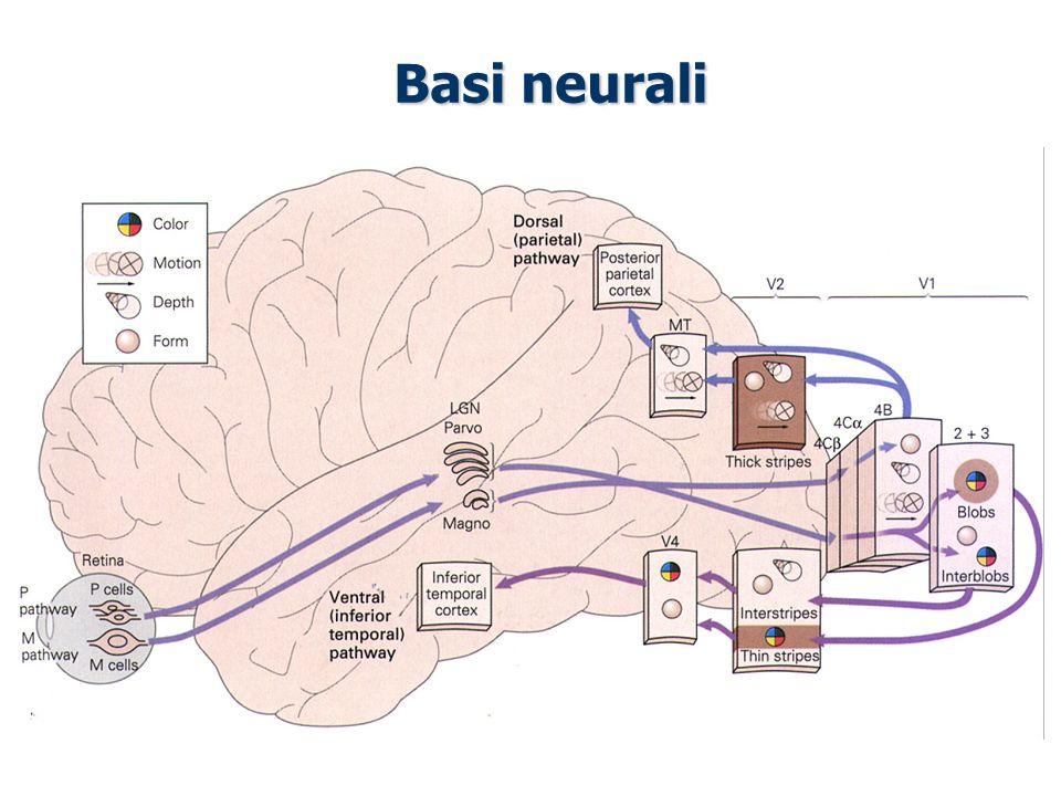 Basi neurali