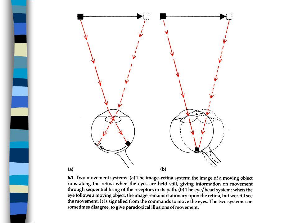 Informazioni sul movimento: attivazione sequenziale dei recettori sulla retina… Informazioni sul movimento: attivazione sequenziale dei recettori sulla retina…
