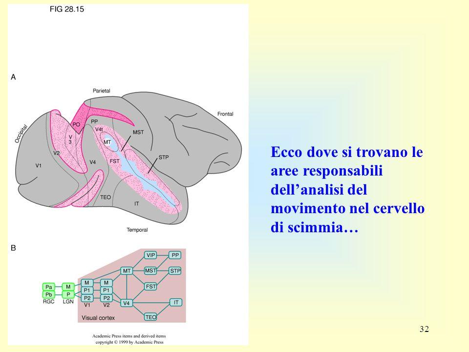 32 Ecco dove si trovano le aree responsabili dellanalisi del movimento nel cervello di scimmia…