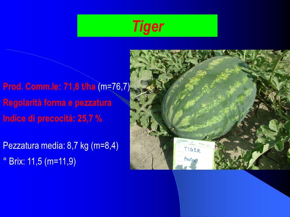Tiger Prod. Comm.le: 71,8 t/ha (m=76,7) ° Brix: 11,5 (m=11,9) Pezzatura media: 8,7 kg (m=8,4) Indice di precocità: 25,7 % Regolarità forma e pezzatura