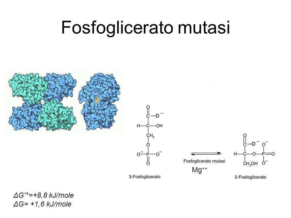 Fosfoglicerato mutasi Mg ++ ΔG'°=+8,8 kJ/mole ΔG= +1,6 kJ/mole